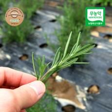 고창 무농약 로즈마리 허브 생잎